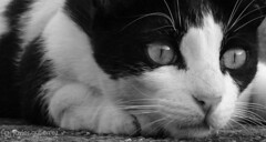 Blanky The Cat! [Explored] (gjaviergutierrezb) Tags: blackandwhite cats animals felines fe flickrcats internetcats