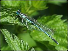 Male White-legged damselfly (glostopcat) Tags: whiteleggeddamselfly damselfly insect invertebrate ordonata glos tewkesbury riversevern summer