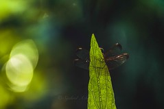 Behind a leaf (Syahrel Azha Hashim) Tags: dof bokeh sunny 200mm nikon 55200mm travel nature wildlife leaf light outoffocus 2016 shallow detail animal malaysia naturallight backlight colorful details d300s dragonfly syahrel handheld insect colors wings simple colorimage nopeople invertebrate