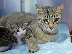 Mama & Babies_04 (AbbyB.) Tags: mtpleasantanimalshelter easthanovernj newjersey shelter pet rescue adopt petphotography shelterpet cat kitten momandkittens babies kitty