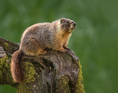 Mom Marmot keeping watch (alicecahill) Tags: california usa wild wildlife marmot sequoianationalpark mammal nationalpark yellowbelliedmarmot alicecahill sierranevada animal