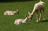 Moment de tendresse (Carahiah) Tags: parcanimalierdesaintecroix rhodes france daine bébé petits doe cuteness tendermoment ricke calins schmusen cuddles