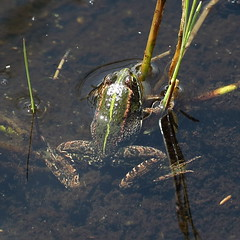In the Pool - Handging onto Reeds (Robin M Morrison) Tags: greenfrog iberianwaterfrog iberianmarshfrog rspbhamwall perezsfrog somerset peat