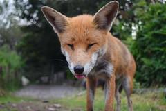 And that's what foxy boy thinks of that (lisheeny) Tags: fox dog vulpes vulpine vulpesvulpes wildlife wild animal british farm wheel barrow