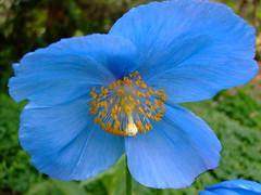 Meconopsis betonicifolia (yewchan) Tags: flower flowers garden gardening blooms blossoms nature beauty beautiful colours colors flora vibrant lovely closeup meconopsis meconopsisbetonicifolia himalayanpoppy himalayanbluepoppy bluepoppy tibetanpoppy