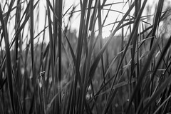 _MG_1756 (Tomas Olsen) Tags: blackandwhite monochrome straws sun blur finland summer bw