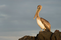 Brown Pelican (dtredinnick13) Tags: islaferdindina puertoespinoza pelican brownpelican bird birding galapagos galapagosislands lava goldenhour warm