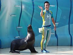 Mami (EmilyOrca) Tags: otaria aquarium show stage trainer greeting light sunlight seal marine mammal