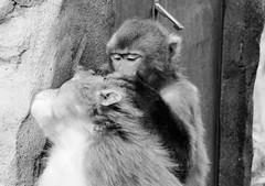 Macaca fuscata --  Japanese Macaque grooming 1270 (Tangled Bank) Tags: asahiyama zoo zoological gardens hokkaido japan primate macaca fuscata japanese macaques 1272 monkey snow