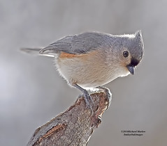 Tufted Titmouse (smileyoakimages) Tags: nature bird tufted titmouse perched limb outdoors wild
