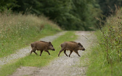 Les 2 petits cochons (Eric Penet) Tags: mormal sauvage animal wildlife wild nord nature france fort aot t locquignol avesnois faune mammifre forest sanglier boar femelle jeune petit suid