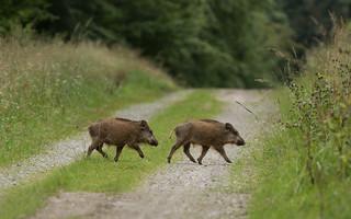 Les 2 petits cochons