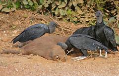 Black Vultures (Coragyps atratus) scavenging on a dead Capybara (Hydrochoerus hydrochaeris) (berniedup) Tags: pantanal transpantaneira pocon blackvulture coragypsatratus vulture taxonomy:binomial=coragypsatratus capybara hydrochoerushydrochaeris