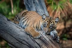 Cathy @ 6 Months (ToddLahman) Tags: cathy joanne teddy sandiegozoosafaripark safaripark sumatrantiger tiger tigers tigertrail tigercub cub escondido canon7dmkii canon canon100400