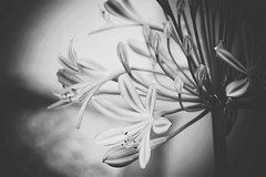 a silently whisper (***toile filante***) Tags: bw sw blackandwhite schwarzweiss monochrome flowers blumen nature natur poetic poetisch macromondays macro details