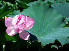#8857 lotus bloom (Nemo's great uncle) Tags: shinobazu  shinobazupond ueno  taitku  tky     nelumbonaceae  lotus nelumbonucifera nelumbo nucifera flora flower