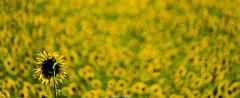 yellow and green (Luca-Anconetani) Tags: sunflowers fields natura panorama country flowers italy campagna lucaanconetani paesaggio nature giallo yellow fiori pianta nikon summer travel