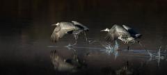 Sandhill Cranes (Eric Gofreed) Tags: newmexico crane ngc sandhillcrane basquedelapache