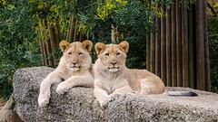 Two lion cubs lying on rock (John van Beers) Tags: zoo cub switzerland lion basel zolli dierentuin leeuw baselstadt baselzoo welp afrikaanseleeuw pantheraleoleo
