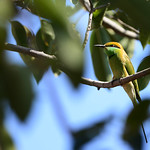 BBR-Green-Bee-Eater
