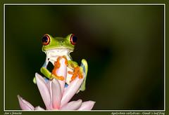 Gaudy leaf frog (Jan H. Boer, Nature photographer) Tags: nature nikon costarica frogs makro lafortuna redeyedtreefrog gaudyleaffrog d5200 jan´sfotosite infinitexposure
