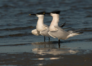 Sandwich Terns - looking suave and debonaire...