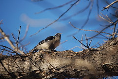 February 11, 2015 - A downy woodpecker in a Thornton tree. (LE Worley)