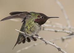 Hummingbird (JME_Photos) Tags: nature birds canon hummingbird wildlife nevada flight henderson 400mm