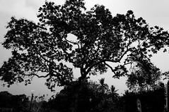 Dark Tree  - Irar (AmandaSaldanha) Tags: blackandwhite bw tree nature natureza bahia rvore pretoebranco fazenda irar