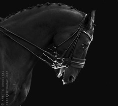 Distress (anemotive) Tags: friends light summer portrait horse flower love sports beauty oslo norway friendship jewelry creme norwegian riding pony bond stallion equine equus bridle kandar dressage cremello lippizaner