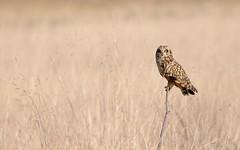 Short-eared Owl DSC_4856-001 (wildlifelynn) Tags: bird heather predator grassland birdofprey resident opencountry voles shortearedowl asioflammeus smallrodents wintervisitor coastalmarshes fliesbyday