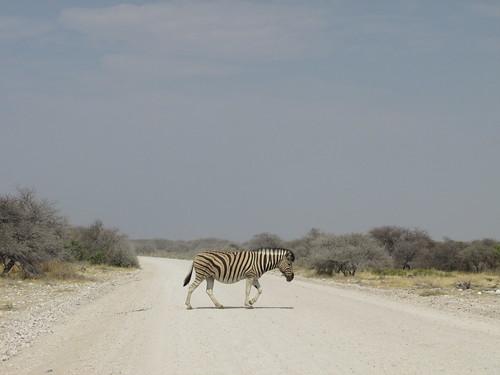 Zèbre, Etosha, Namibie