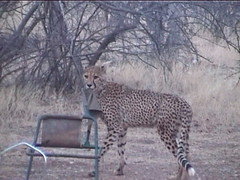 Cheetah Stole The Chair