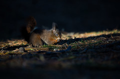 Red Squirrel EXPLORE (DaniConnor1995) Tags: winter red england cute nature photography squirrel flickr wildlife danielle connor