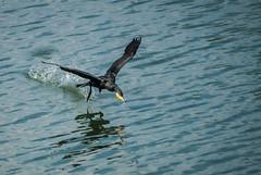 Move with smooth (V.T.Arun ram kumar) Tags: india black bird water up fly bangalore smooth fast move off take cormorant pick karnataka fetch sanctuary ranganathittu glide