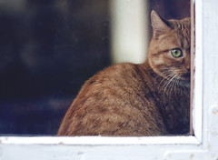 peek (olechka_dumka) Tags: life light red pet white home window glass look animal horizontal cat fur 50mm ginger eyes nikon kitten day being kitty lifestyle ukraine hues frame peek staring d90