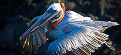 Galapagos-20140714-1812-BK2W6359-Edit-2 (Swaranjeet) Tags: pelican pelicans galapagos ecuador bird largebirds july2014 canon fullframe 1dx eos1dx dslr sjs swaran swaranjeet swaranjeetsingh sjsvision sjsphotography swaranjeetphotography 2014 eos canoneos1dx 35mm ef pro 200400 canonef200400mm canonef200400mmf4lisusm14x singh photographer thane mumbai india indian