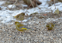 Grönfink (Markoliini) Tags: bird nature nikon wildlife natur greenfinch carduelischloris luonto fågel lintu viherpeippo d800e tamron150600