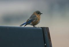 Eastern Bluebird (wvsawwhet) Tags: blue bird birds birding wv westvirginia bluebird birdwatching easternbluebird westvirginiabirds birdsofwestvirginia
