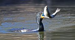 Double-crested Cormorant (holtw50) Tags: cormorant trout rainbowtrout doublecrestedcormorant phalacrocoraxauritus