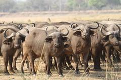 Syncerus caffer (Dindingwe) Tags: buffalo bovidae zambia capebuffalo buffle southluangwa synceruscaffer africanbuffalo zambie buffledafrique