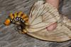 Pseudodirphia obliqua (K. Zyskowski and Y. Bereshpolova) Tags: brazil amazonas saturniidae yavari javari obliqua palmari pseudodirphia