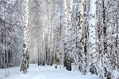 winter birch woods alley (belfortglass) Tags: winter light terrain sunlight white snow cold tree ice nature beauty forest landscape frozen cool woods solitude frost branch view deep scene lane trunk remote serene birch wilderness footpath vacations climate tranquil scenics covering