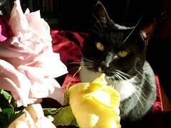 Panda 1 (flowercat) Tags: flowers roses cat panda tuxedocat pandacat