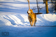 | Trinity at Sunset | (SOBPhotography) Tags: dog chien pet color animal cane digital goldenretriever highresolution canine hond perro domestic hund photograph trinity k9 dogphotography domesticanimal colorimage domesticpet animalthemes