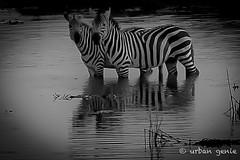 2015 kenyaIMG_0943-2.jpg (urban genie) Tags: africa kenya safari masai masaimara wildanimals urbangenie