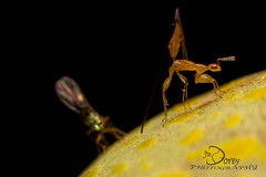 Fig wasp parasitoid and hyperparasitoid Sycoscapter sp. 1 and Watshamiella sp. 1 (Jbdorey) Tags: macro nature insect james wasp fig australian entomology pollinate dorey pollinator pteromalidae parasitoid hyperparasitoid jbdorey sycoryctinae