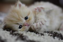 KGD_0449 (kyledaumphotography) Tags: cat persian kitten adorable harmless purrfect