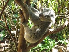 "Koala <a style=""margin-left:10px; font-size:0.8em;"" href=""http://www.flickr.com/photos/83080376@N03/16608351335/"" target=""_blank"">@flickr</a>"