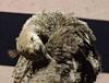 Peachick (Rose Frankcombe) Tags: australia tasmania launceston cataractgorge peachick firstbasin rosefrankcombe